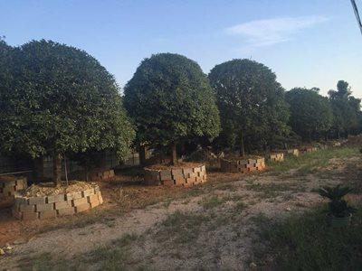 苗木生产05